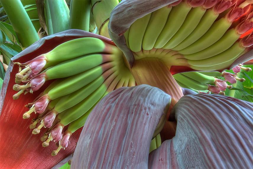 A banán világszerte olyannyira közkedvelt gyümölccsé vált, hogy azt hinnéd, már nem is tudnának róla újat mutatni neked? Azért a levirágzás utáni, éretlen változat színei tényleg nagyon meglepők.