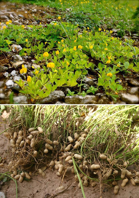 A Dél-Amerikából származó, de Magyarországon is megtermő földimogyoró valójában csak nagyon távoli rokona a cserjés mogyoróféléknek. Előbbi a földben fejlődik ki, alacsony bokrok alatt, ahogy az a képen is jól látható.