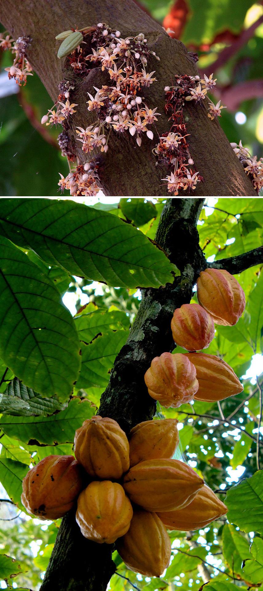 Még Gombóc Artúr sem ismerne rá a csokoládé alapanyagára, ha a dél-amerikai vagy az afrikai kontinens egy fáján látná viszont. A zöldes vagy narancssárga terméseket az érés után lehántolják, a kakaóbabokat kiszárítják, megpörkölik, és csak ezután használják fel az édességekhez.