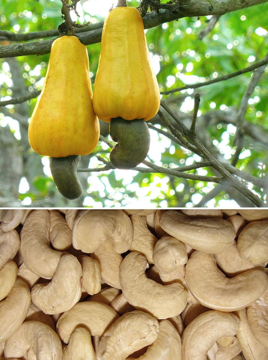A kesu a trópusi országok kedvelt örökzöld növénye. Érdekessége, hogy gyümölcse, akesualma is fogyasztható, bár nálunk csak - egyébként kiemelkedően értékes - magja, a kesudió terjedt el.