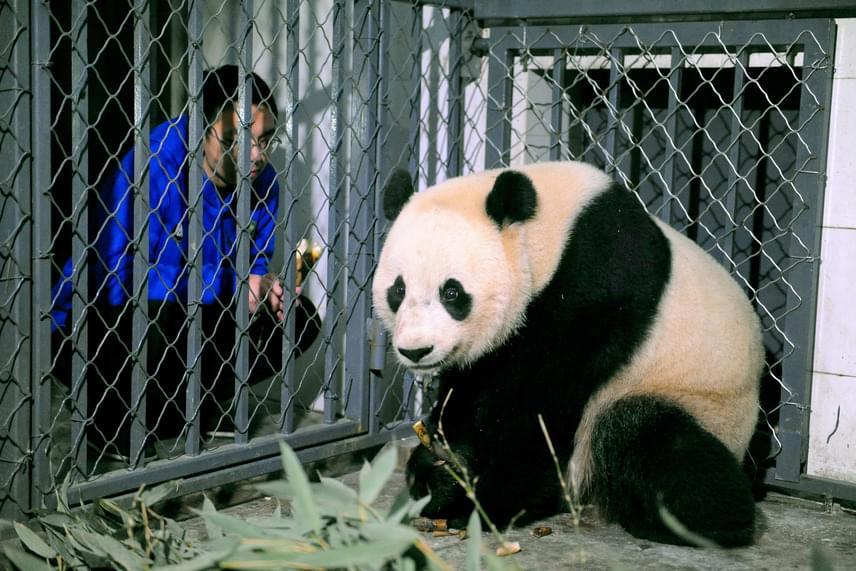 Miután Washingtonban a média már napok óta emlegette, hogy a pandalány Kínába indul, a hétvégén mintegy 60 ezren látogatták meg az állatkertben, és amikor megérkezett a washingtoni Dulles nemzetközi repülőtérre, csoportok várták, elsősorban gyerekek a szüleikkel, hogy búcsút intsenek neki.