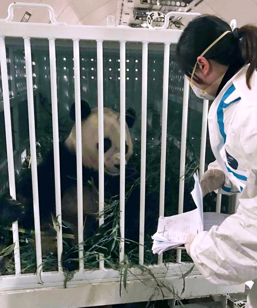 A teherszállító repülő - oldalán óriási pandafigurával - mintegy 16 óra alatt tette meg az utat Washingtonból a közép-kínai Csengtuba. Miután megérkezett a csengtui repülőtérre, a szecsuáni egészségügyi hatóság munkatársai vizsgálták meg.