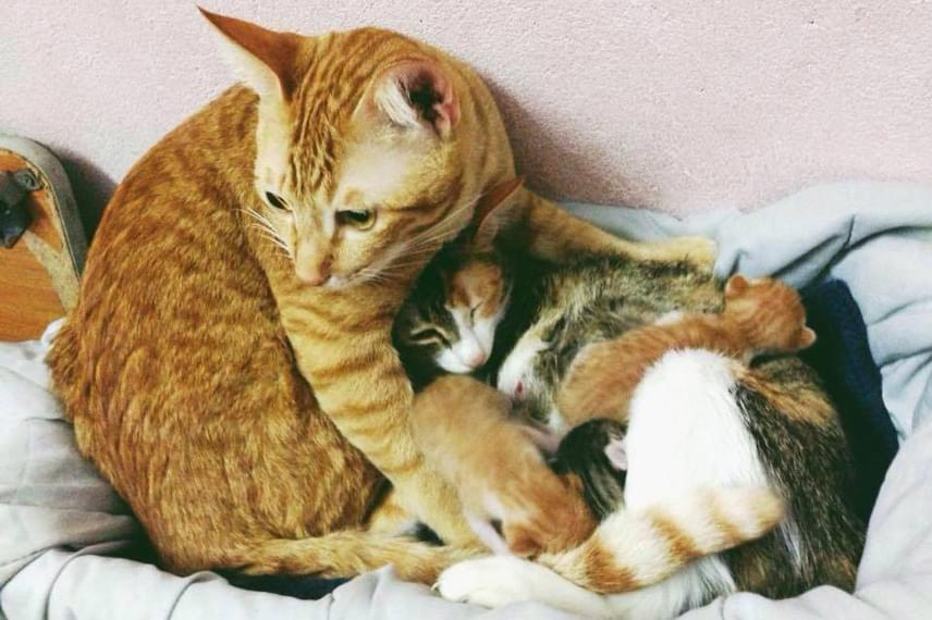 Úgy látszik, a gondoskodó kandúr akár saját testével is megvédené a családját, akik mellől el sem mozdul.