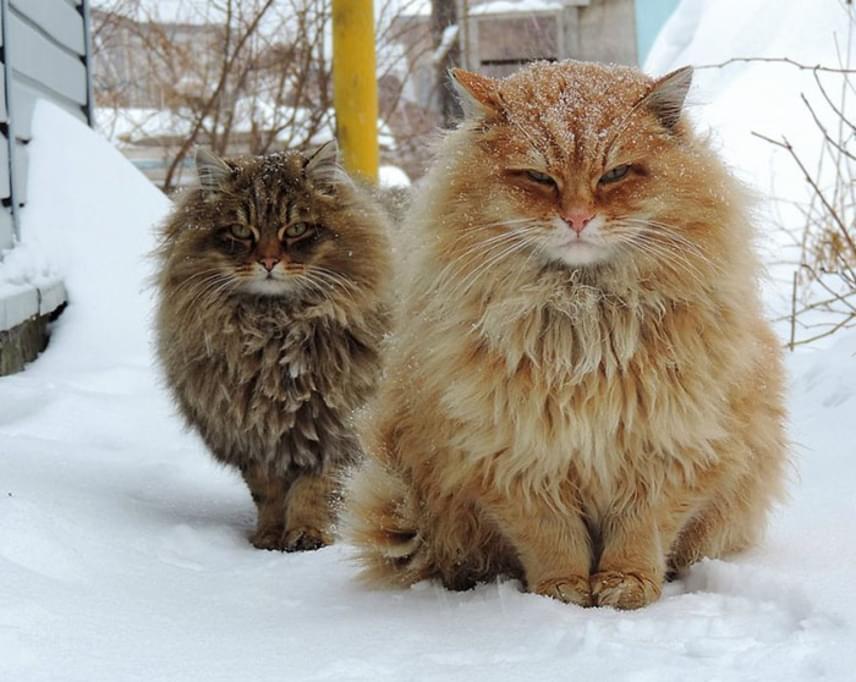 Új finn metálbanda a láthatáron? Vagy csak hóban fagyoskodó, szőrmók macskák? A szigorú tekintetük alapján bármelyik lehetne az igazság.