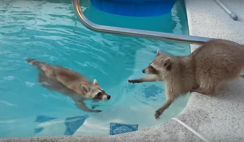A mosómedvék nem kimondottan szégyenlős állatok, és olykor még az ember közelsége sem zavarja őket. Hogy ez mennyire igaz, azt jól mutatja az a videó is, amin pedig épp egy jókedvű fürdőzést örökítettek meg egy ház medencéjében.