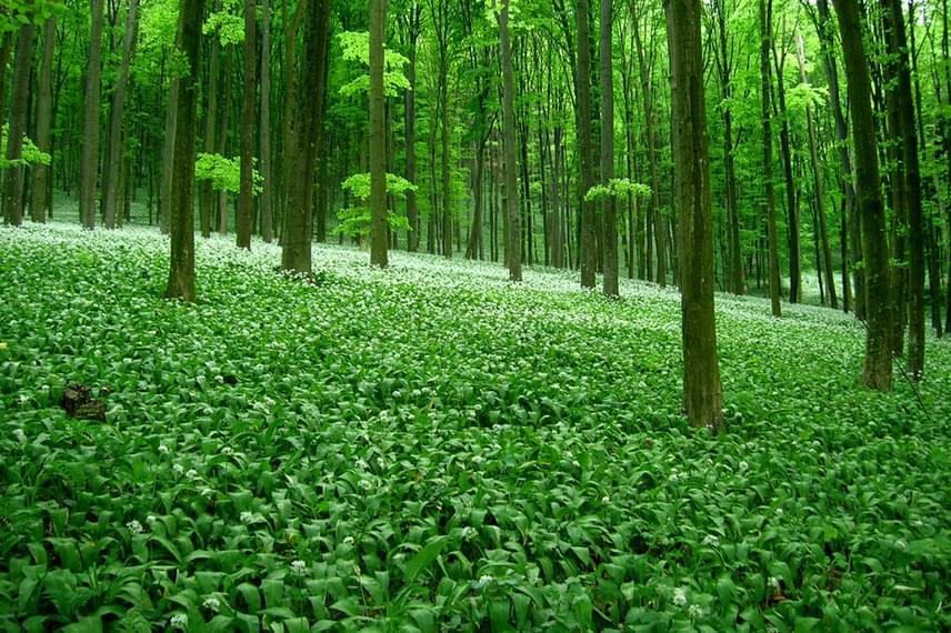 Tavasszal Bakonybél környékén elborítja az erdő talaját a sűrűn növő medvehagyma, melyet sok turista szívesen gyűjt és fogyaszt. A növényt április 8-9-én fesztivál keretein belül is ünneplik majd a faluban, amikor számos kézműves finomságot is kipróbálhatsz.