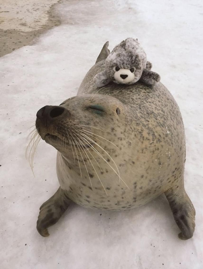 A játékot, mely az állatkert ajándékboltjában is megvásárolható, első látásra megszerette a fóka.