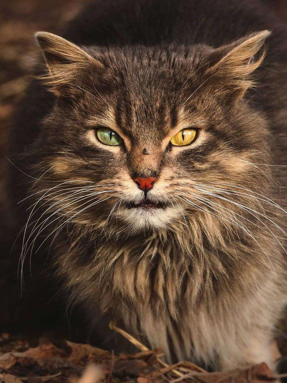 A kóborló állatok néha egészen elképesztően szépek, mint ez a hosszú szőrű, a heterokrómia miatt felemás szemszínnel rendelkező macska. Sokan azonban mégsem merik befogadni ezeket az állatokat, attól tartva, hogy azok rossz természetűek, vagy betegségeket hordoznak.