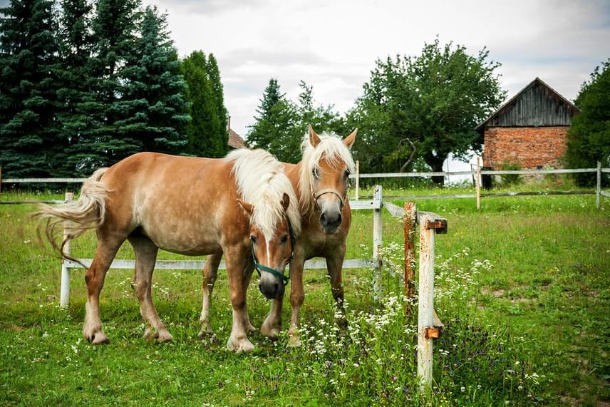 Szalafőn a házak körül számos állat előfordul, sokuk hagyományos, magyar fajta. A faluban bioállattartás is zajlik, melynek kecskék, tehenek, disznók, baromfik és más állatok is részei.