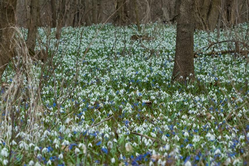 A hóvirág legnagyobb példányszámú állományai Solt, Ordas, Harta térségében találhatóak. Itteni populációi a múlt héten kezdtek virágozni a nappali felmelegedés hatására, és az éjszakai fagyok elmúltával a napokban már teljes pompájukban nyílnak.