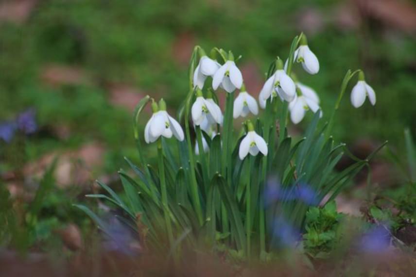 Nem mindennapi élményben lehet része annak, aki erre kirándul, a hóvirágmezőben már felfedezhetőek az ibolya és a tavaszi csillagvirág ragyogó kékes-lilás virágai is.