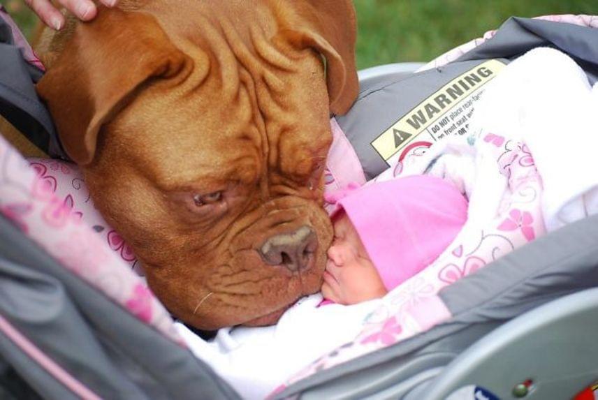 Ez a kutyus először lát kisbabát. Nem is lehetne meghatóbb az a gyengédség, ahogyan pofiját az alvó baba arcához érinti.