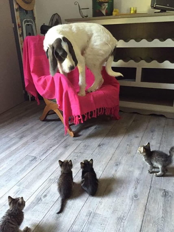 Ezt a nagy kutyát teljesen sarokba szorították a kiscicák, akik korántsem olyan félelmetesek, mint első pillantásra tűnnek.
