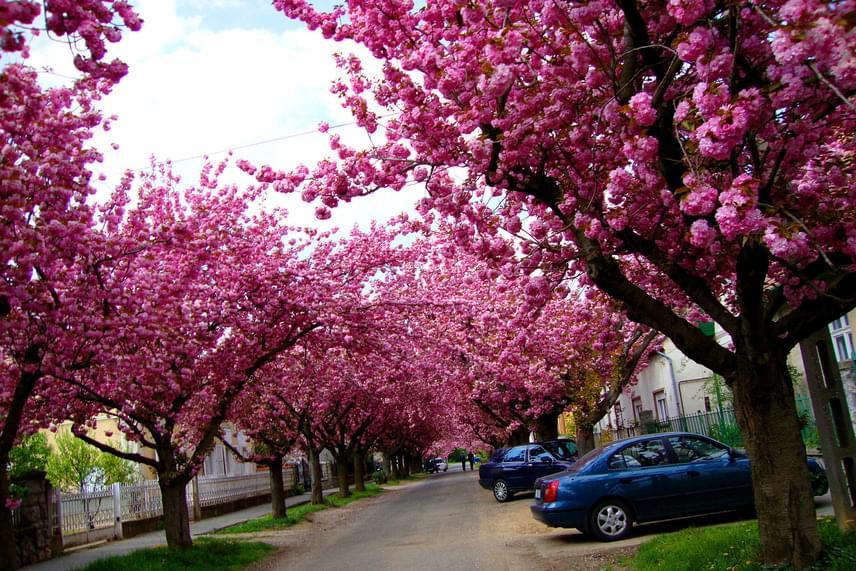 A Temesvár utcát méltán emlegetik Kaposvár legszebbjeként, ugyanis itt április elejétől folyamatosan virágoznak az út két oldalán ültetett japán cseresznyefák. Szemkápráztatóan szép a rózsaszínbe öltözött utca!