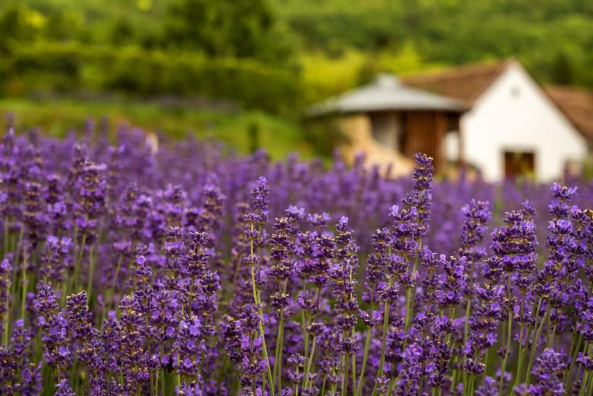 A levendula a többi virágnál egy kicsit később, május-júniustól nyílik, ám ekkor álomszép lila színbe vonja a tájat. Szabályos, idilli sorokba rendezett levendulákat láthatsz nemcsak Tihanyban, de a képen látható Máriagyűdön is, ahol számos szuper kézműves terméket készítenek a helyileg termelt értékes növényből.