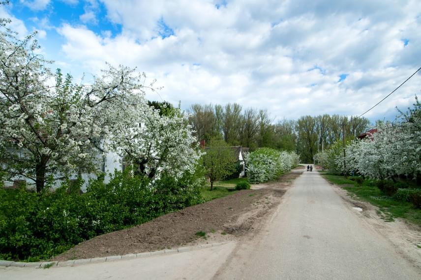 A Tisza partján fekvő Nagykörűt magyar Japánként vagy az ország cseresznyéskertjeként is emlegetik. Itt található ugyanis a legnagyobb magyar cseresznyefa-gyűjtemény, mely több mint kétszáz hektárt terít be. Az április elejétől virágzó fákat a helyiek 16-án rendezvénnyel is ünneplik, mely méltó hazai rokona a Sakura-ünnepnek.