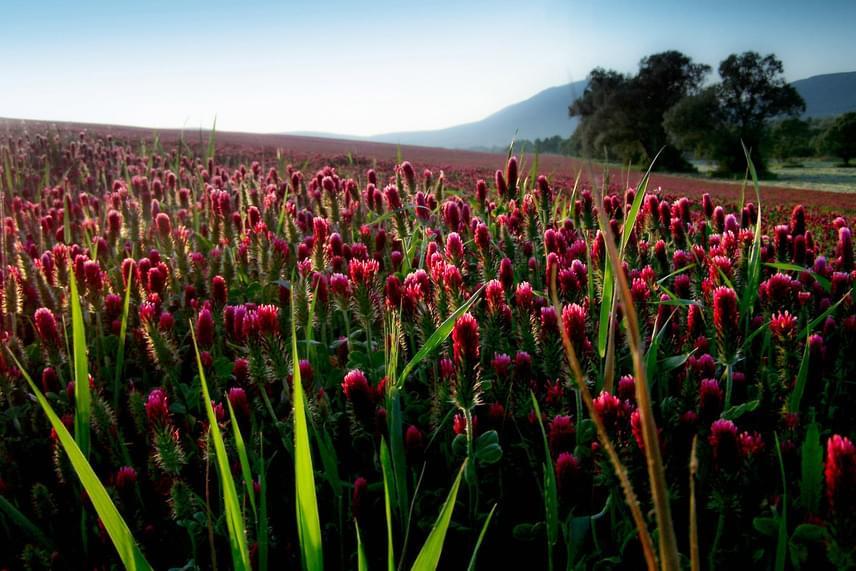 Ugyan a vöröshere inkább gyógynövényként vagy takarmányként ismert, amikor tömegével virágzik, tündéri látványt nyújt. Ilyen vörös színbe borult mezőt Magyarországon Pilisvörösvár és Csobánka között láthatsz májustól novemberig.