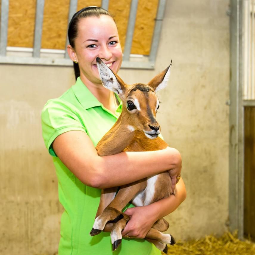 Török László elárulta, hogy a tehén hét hónapos vemhesség után hozta világra a csaknem hét kilogramm tömegű bak újszülöttet, melyet születése óta nagy gonddal őriz. Anya és borja is jó egészségnek örvendenek.