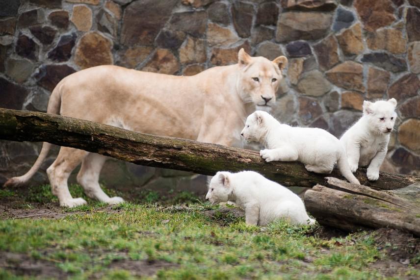 Nem az impala az egyetlen jövevény, aki a közelmúltban jött világra: a Nyíregyházi Állatpark fehér oroszlánkölykökkel gazdagodott. A Binti nevű nőstény oroszlánnak és 2015-től vele élő tenyészpárjának január 8-án születtek hármas ikrei, akiket március 7-én engedtek ki először a kifutóba. A fehér alfajt a természetben 1994-ben látták utoljára, a világ állatkertjeiben és rezervátumaiban összesen ötszáz egyed él.