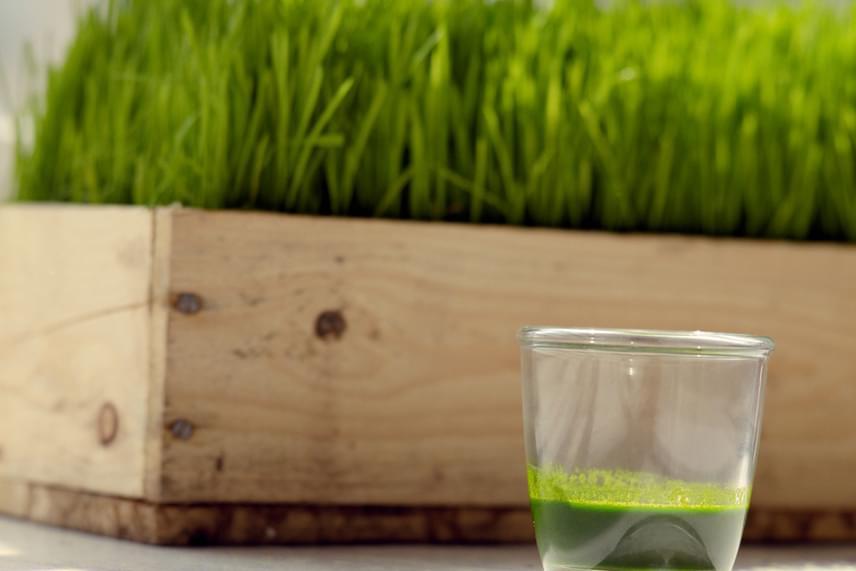 A búzafű nagyon gazdag ásványi anyagokban és vitaminokban, emellett nagyon erős antioxidáns-forrás. Lapos tálba vesd, melynek lyukacsos az alja, és ne öntözd túl, nehogy rothadni kezdjenek a gyökerek. Ha egyszer kicsírázott, nagyon erős lesz, és folyamatosan aratható.