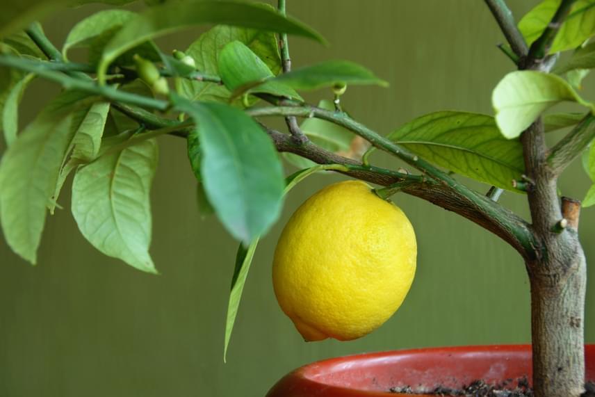 A citromfa a lakás és a balkon legszebb dísze lehet. Nyáron mindenképp tartsd kint, ősszel pedig vidd be, és ügyelj rá, hogy magas páratartalom és körülbelül 10-12 fok legyen biztosítva számára.