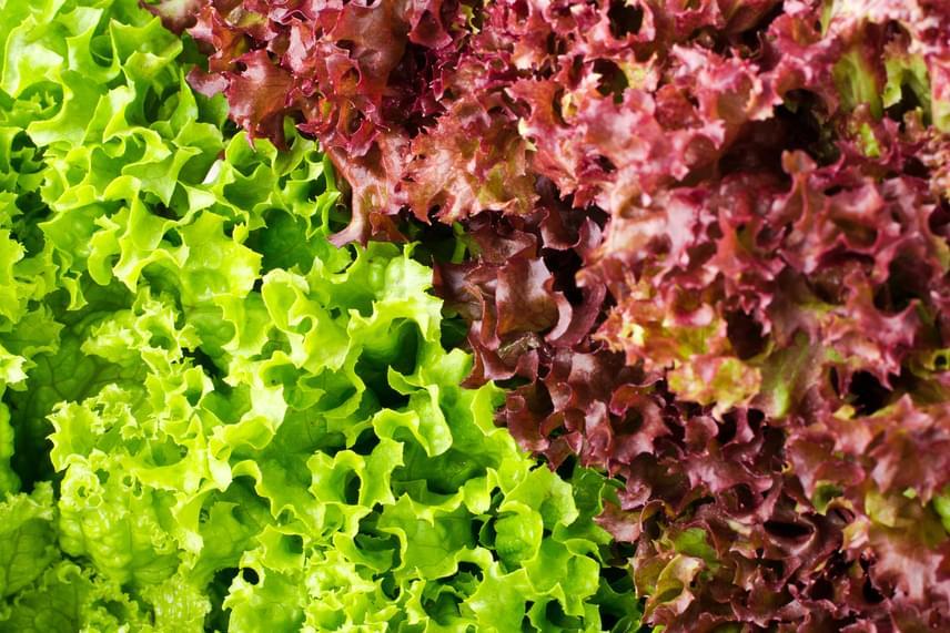 A saláták közül a lollo rosso például alkalmas beltéri termesztésre, közepes méretű, műanyag virágcserép és zöldségföld a legjobb hozzá. Öntözd kétnaponta, miután pedig már növekszenek a levelek, inkább alulról.