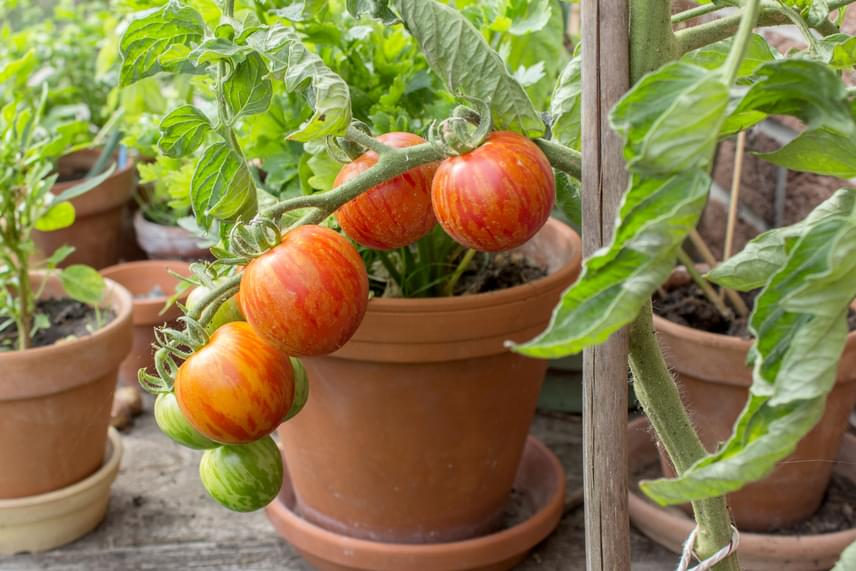 Kisebb méretű paradicsomokkal is érdemes próbálkozni, elsősorban a balkonon. Fontos, hogy sok napot kapjon, és locsold is rendszeresen.