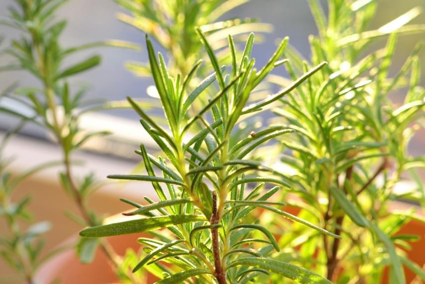 A fűszernövényekről sem szabad megfeledkezni, melyek közül az egyik legegészségesebb a rozmaring, melyet kerti rozmaring dugványából is szaporíthatsz. Jól bírja a benti körülményeket, de kell neki a napfény, az öntözésnél pedig vigyázz, mert sokszor a szárazabb talajt kedveli.
