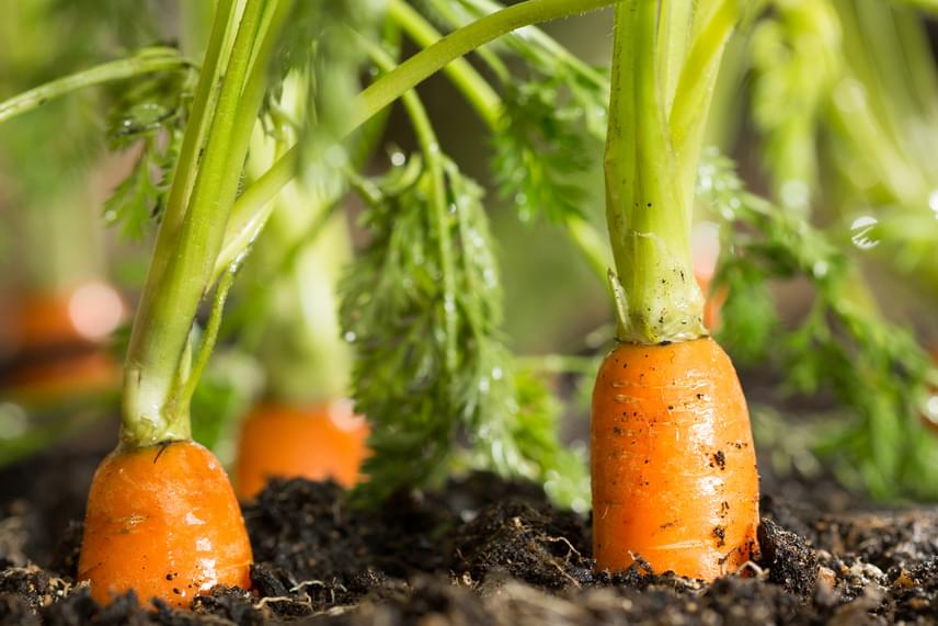 A répát is lehet bent termeszteni, de olyan fajtát válassz, ami erre alkalmas, vagyis inkább kisebb és gömbölyűbb répát. Sok hely kell neki, és legalább 30 centis mélység.