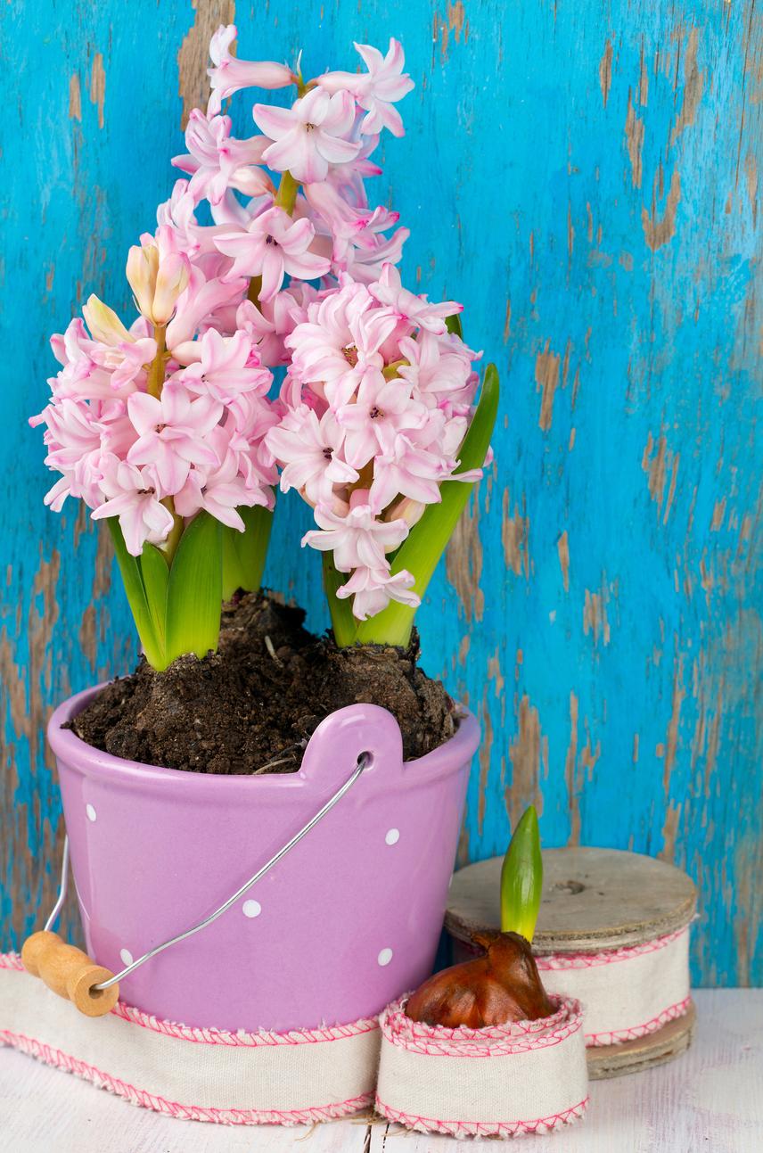 Sose hagyd, hogy a hagyma kiszáradjon, ekkor ugyanis hamar elvirágzik, és akár el is pusztulhat a növény. Ne legyen száraz a földje, ugyanakkor arra is vigyázz, hogy ne is pangjon a víz, ne öntözd túl.