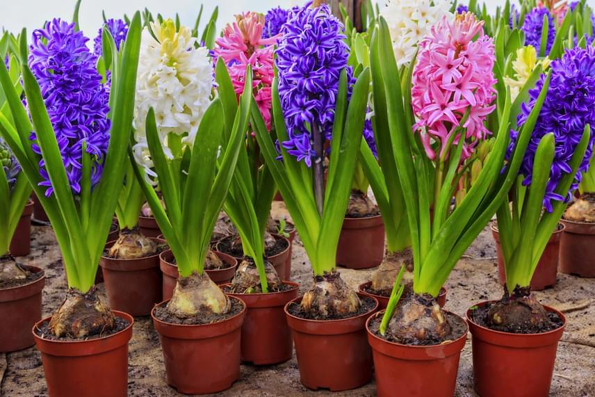 A jácint nem véletlenül a tavasz egyik legkedveltebb virága, varázslatos színei mellett illata is szinte mágikus hatással bír. Minden egyes tavaszi hagymás növényre igaz, hogy nagyon fontos számukra az öntözés, a jácintra azonban még inkább.