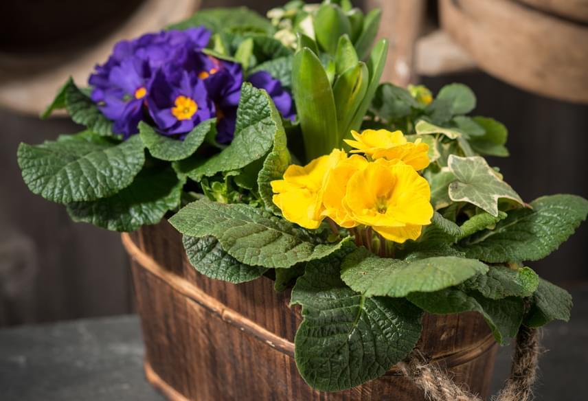 Kankalin szinte mindig kapható a virágárusoknál, tavasszal azonban különösen jellemző a jelenléte. Előbbi növényekkel ellentétben esetében tartsd szem előtt, hogy jobban kedveli az árnyékot, félárnyékot.