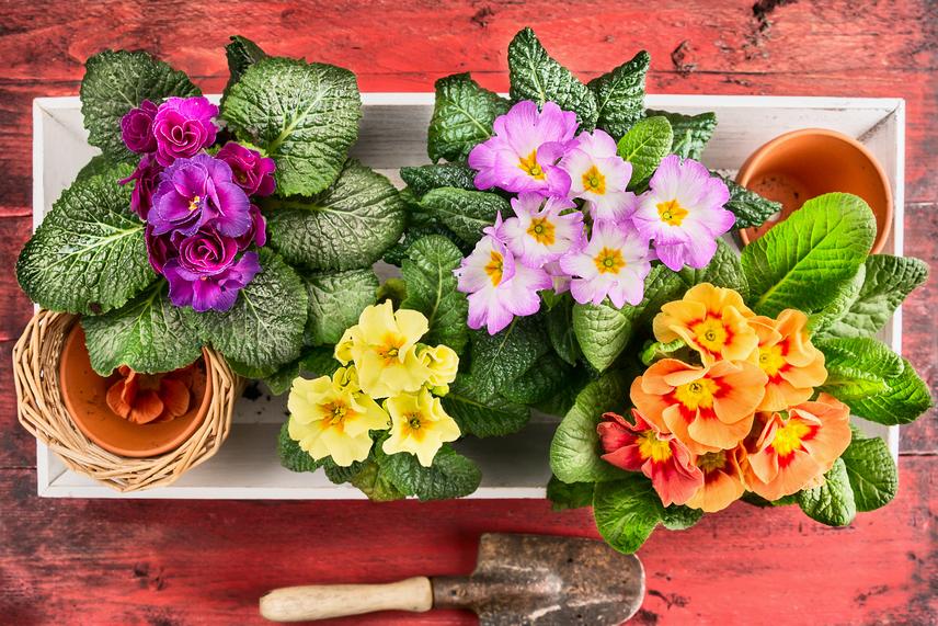 Nagyon igényes növény, gondoskodás hiányában pedig könnyen elpusztul. Ne tedd ki tűző napnak, állandóan legyen nedves a földje, és biztosíts számára 10-15 fokos hőmérsékletet.