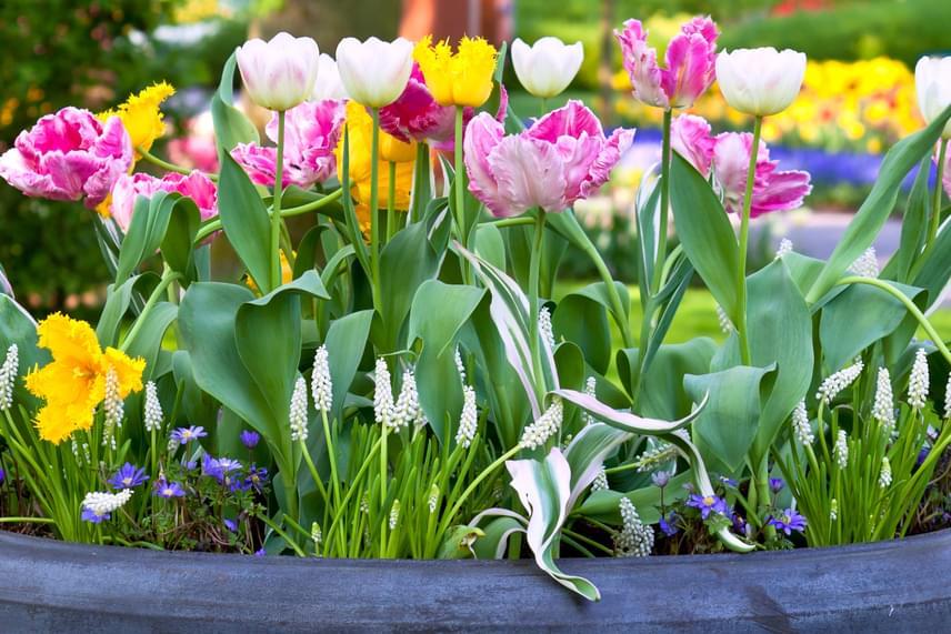 A kora tavasszal vásárolt virágokat elvirágzás után ki kell ültetni, amihez válassz jó minőségű, laza szerkezetű, tápanyaggal teli virágföldet.