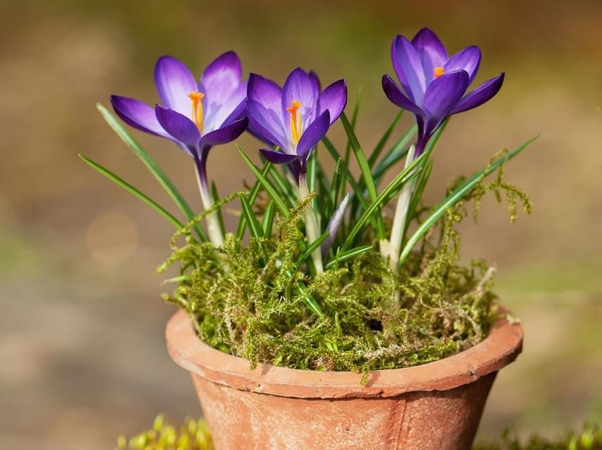 Ha a balkonon képzeled el a tavaszi virágkompozíciót, ügyelj arra, hogy ha éjszaka még előfordul a fagy, ne hagyd kint a növényeket.