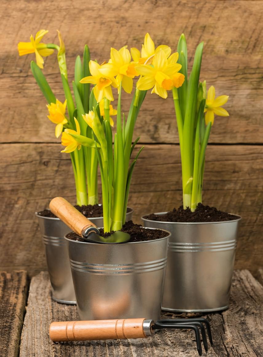 A nárcisz, csakúgy, mint a tulipán vagy a jácint, azt is meghálálja, ha hagymás virágoknak való tápoldattal gondozod.