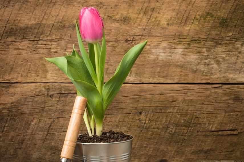 A tavaszi virágokat, legyen szó akár csak a tulipánról, gyakran árulják olyan kis cserépben - különösen igaz ez összeültetés esetén -, melyben nincs elég helye a növényeknek. Bármilyen dekoratív is egy kaspó, ha szeretnéd, hogy sokáig szép legyen a növény, ültesd át.