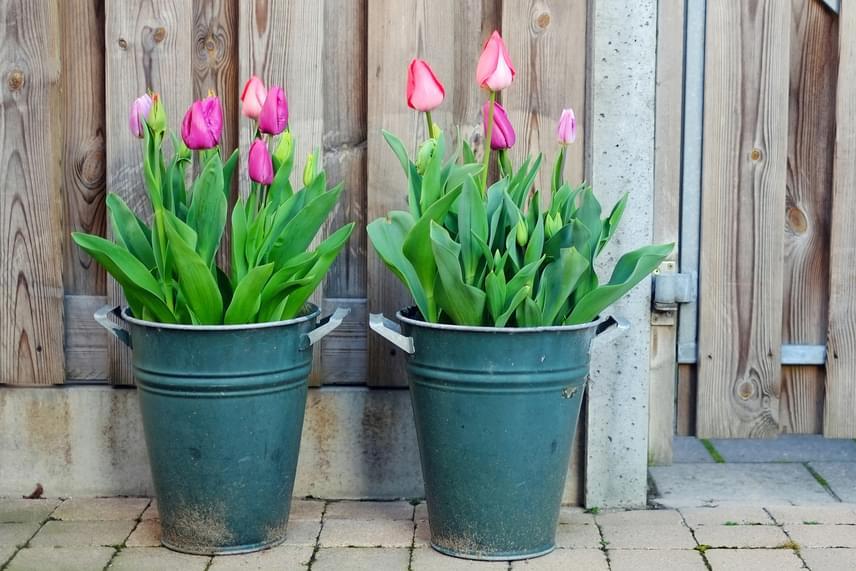 Nagyobb helyen több lehetősége van magához venni a tápanyagokat, különösen, ha bőségesen ellátod friss virágfölddel is.
