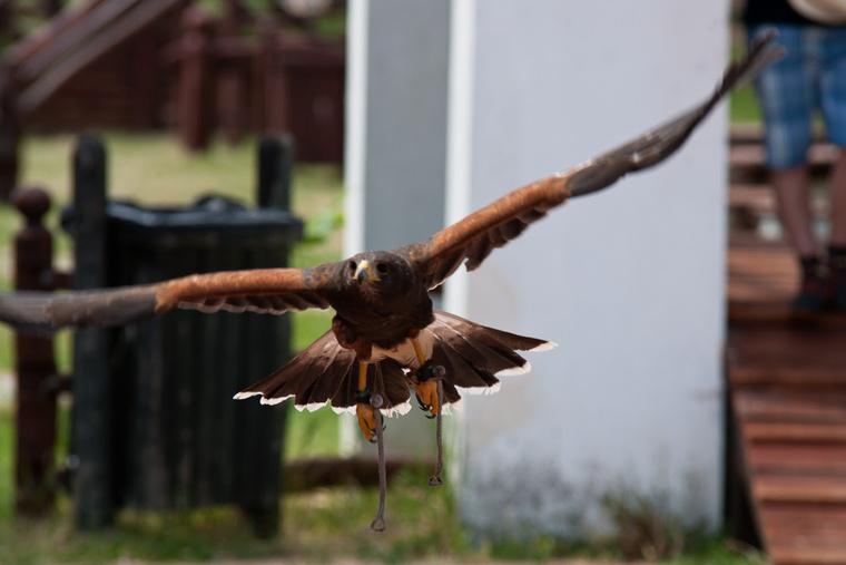 Öt madár vett részt a versenyben, mindegyikük sebesült volt korábban.