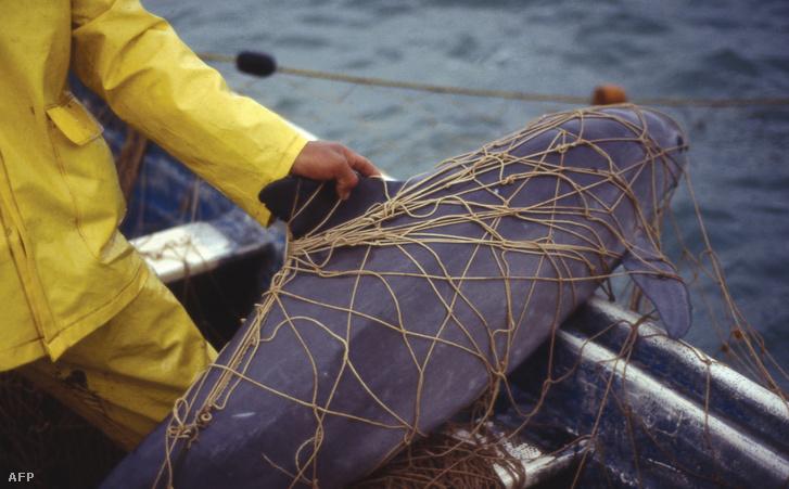 A WWF által kiadott felvétel egy halászhálóba tévedt disznódelfinről a mexikói Golfo de Santa Clara partjainál