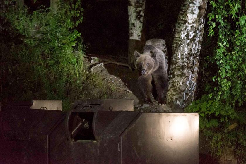 Több turista is látta, amint a medve felbukkant az utcát szegélyező fák között Tusnádfürdőn.