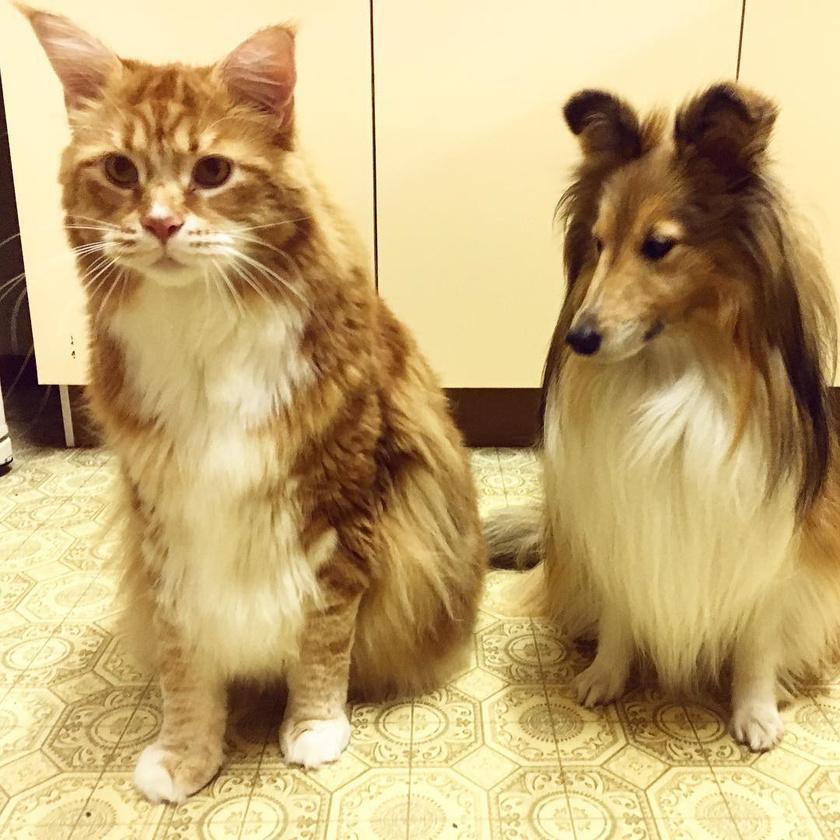 Omar láthatóan jóval nagyobbra nőtt Pennynél, a skót juhászkutyánál.