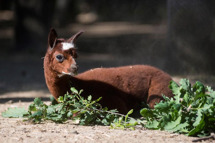 A kis patást már a látogatók is megtekinthetik az Andok kalandok függőhídjáról, ahol tapírokkal és vízidisznókkal él társbérletben.