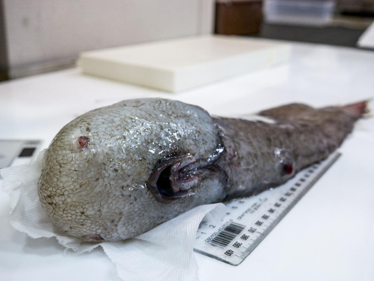 Erről az arctalan halról még a kutatók is azt hitték, hogy új fajt találtak, amíg bele nem botlottak a szakirodalomban. Ember 1873-ban látta először és eddig utoljára.