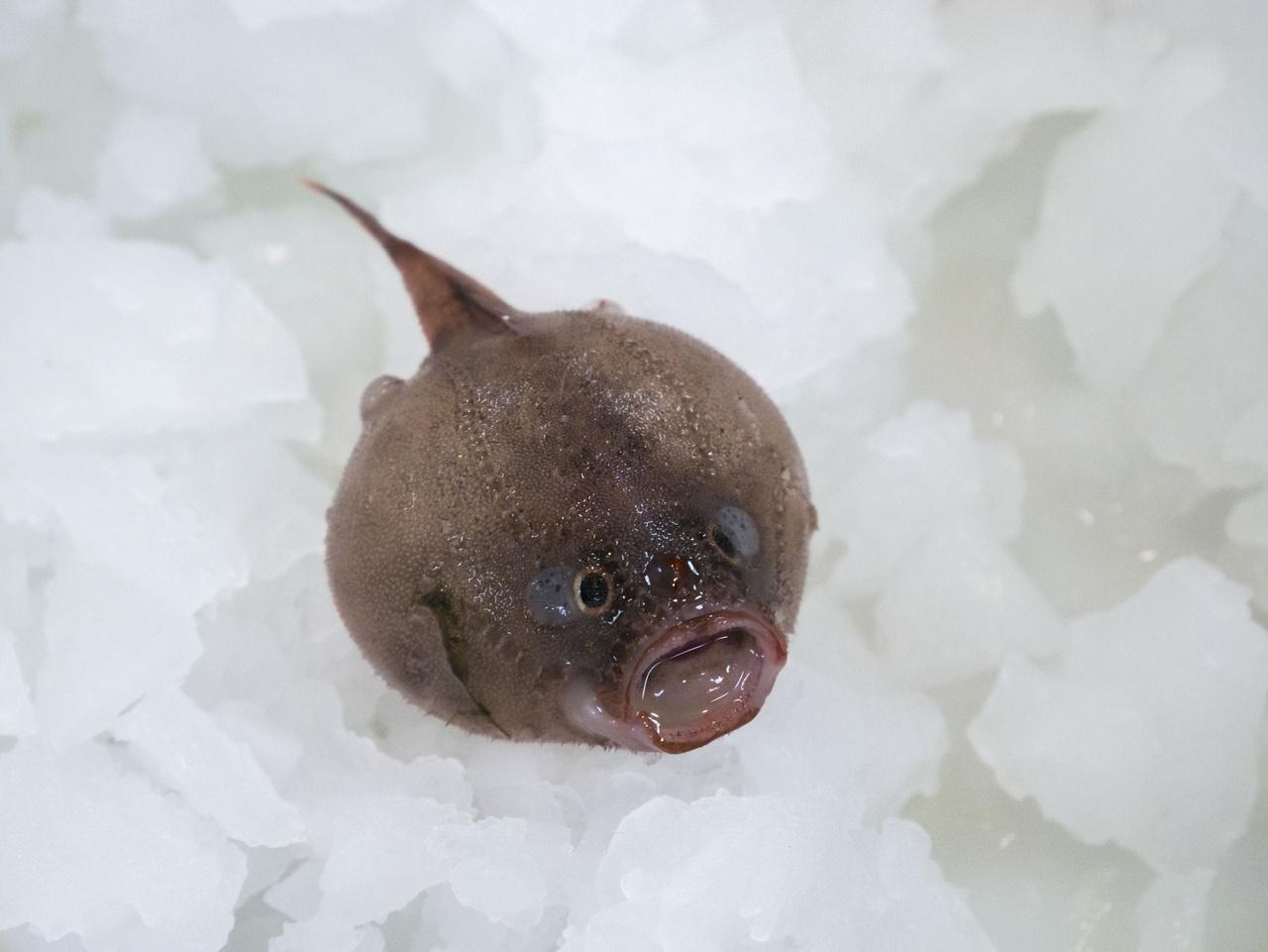 A koporsóhal alapjáraton se túl barátságos, de ha veszélyt érez, felfújja magát, hogy félelmetesebbnek tűnjön.