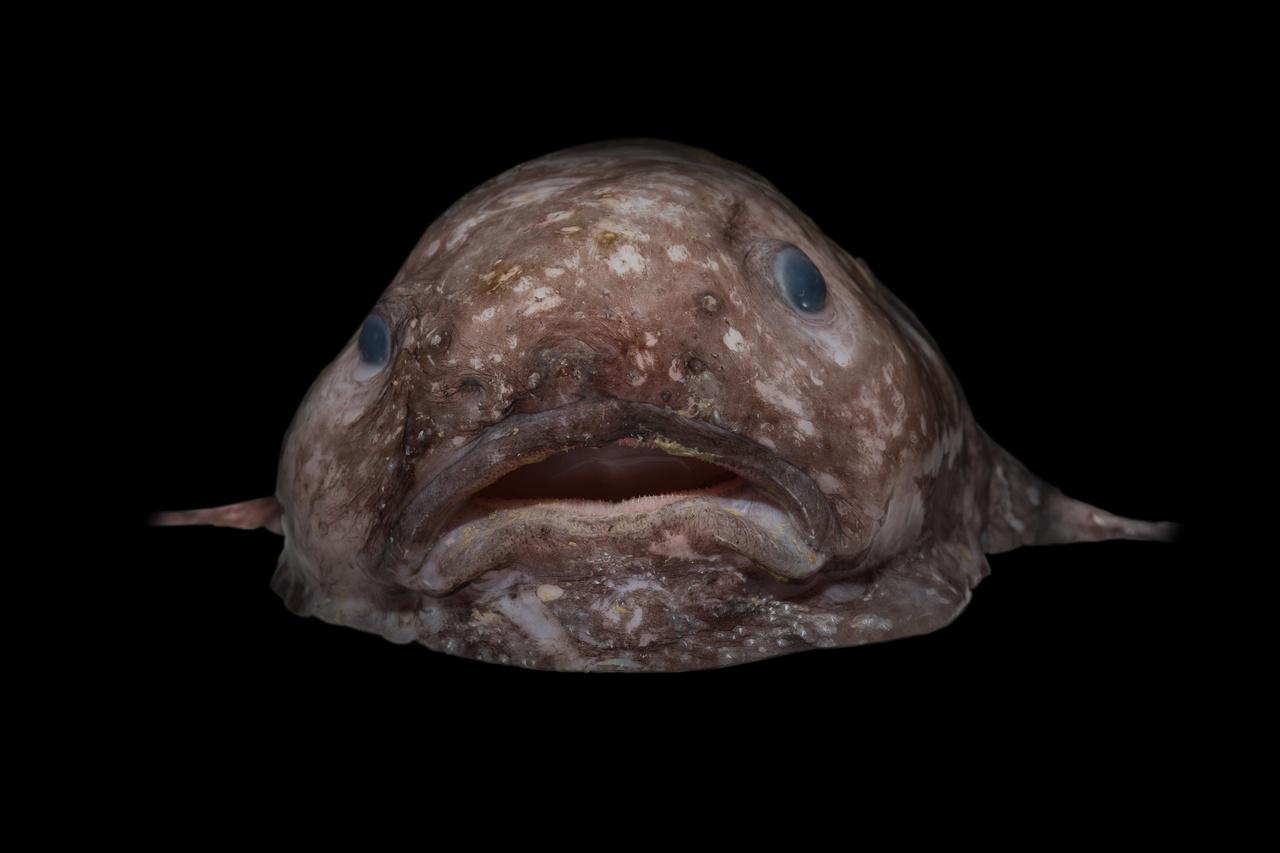 A Psychrolutes marcidust 2013-ban a világ legrondább állatának választották. Azért néz ki úgy, mint egy nagy paca (az angol neve is nagyjából ezt jelenti), mert az evolúció nem nagyon hagyott izmokat a testében. Nincs is rájuk szüksége, mert azzal táplálkozik, ami épp a szájába sodródik.