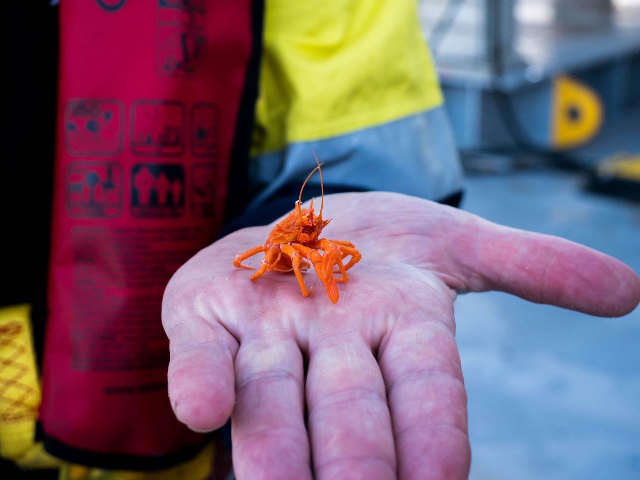 Ezek az apró rákok a mélytengeri világ dögevői.