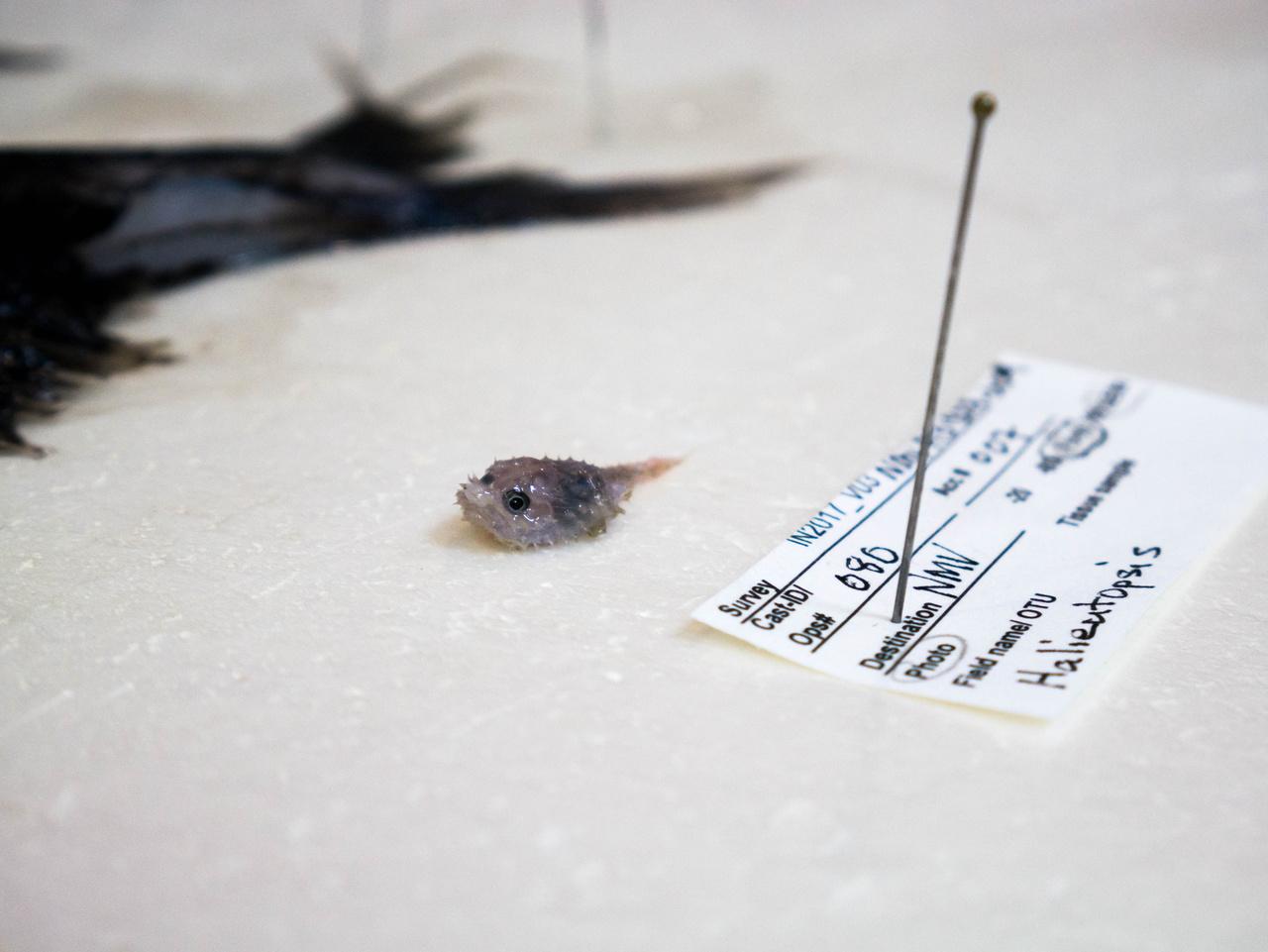 Az egyik legapróbb ez a horgászhalalakúak közé tartozó hal, amelyet a lapított teste miatt angolul denevérhalnak hívnak.