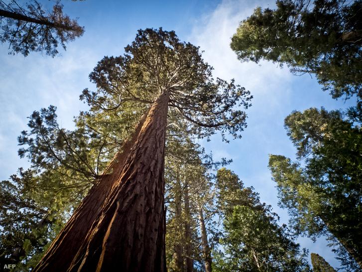 Óriásfenyő a Yosemite Nemzeti Parkban