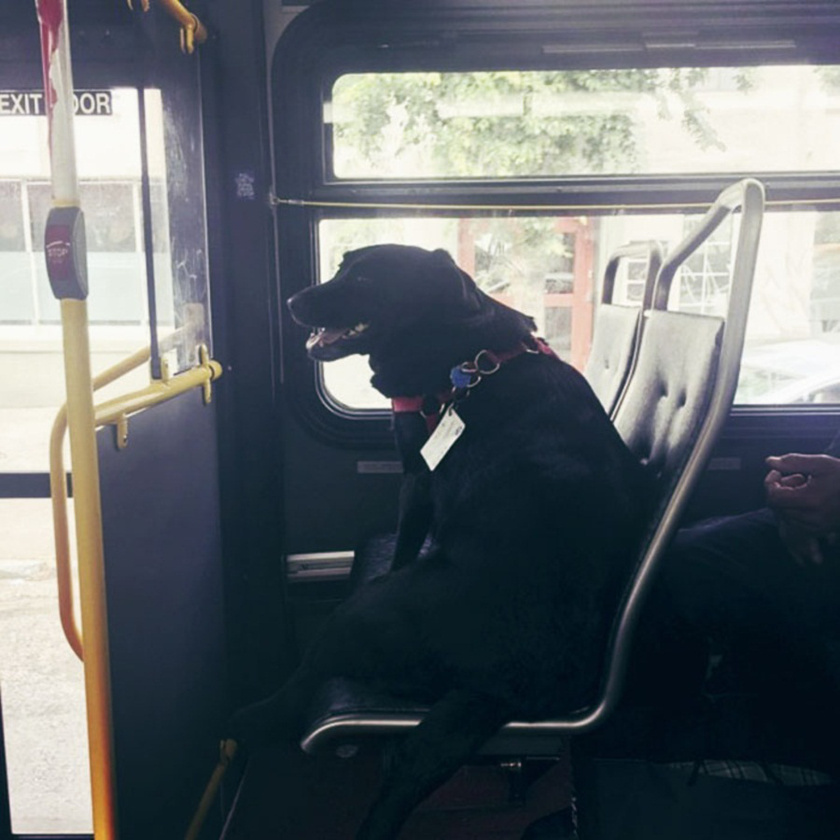 Teljesen megszokott ez a látvány a seattle-i buszon: a kutyus pont úgy utazik, mint az emberek.